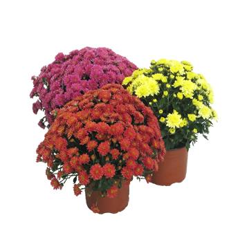0101crisantemo2m141445849143.JPG