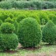 arbustos-perennes