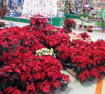 plantas-de-navidad