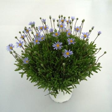 Planta De Exterior - Planta De Temporada - Agatea Maceta 14cm
