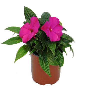 Planta De Exterior - Planta De Temporada - Alegria Nueva Guinea M14