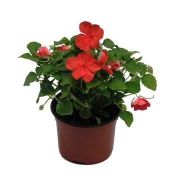 Planta De Exterior - Planta De Temporada - Alegria Walleriana Maceta 11cm Colores Variados