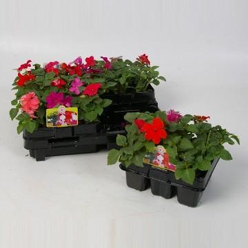 Planta De Exterior - Planta De Temporada - Alegria Pack Colores Variados De 6uds