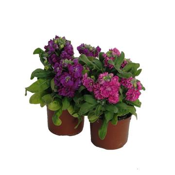 Planta De Exterior - Planta De Temporada - Alheli Flor Doble M11