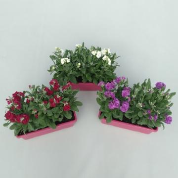 Planta De Interior - Planta Interior Flor - Alheli Doble En Jardinera 30cm