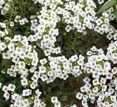 Planta De Exterior - Planta De Temporada - Alisum Maceta 11cm