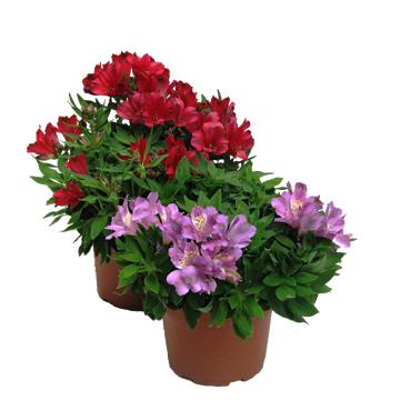 Planta De Exterior - Planta De Temporada - Alstroemeria Maceta 17cm