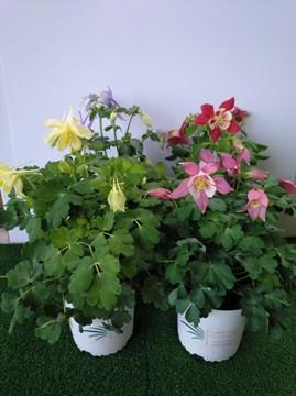 Planta De Exterior - Planta De Temporada - Aquilegia Maceta 13cm