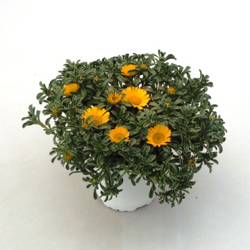 Planta De Exterior - Planta De Temporada - Asteriscus Maritimus Maceta 15cm