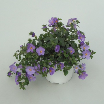 Planta De Exterior - Planta De Temporada - Bacopa Colores Variados Maceta 15cm