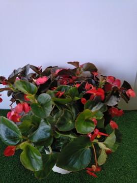Planta De Exterior - Planta De Temporada - Begonia Benariensis Maceta 15cm
