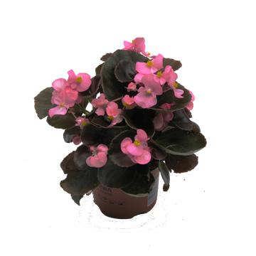 Planta De Exterior - Planta De Temporada - Begonia Semperflorens M11