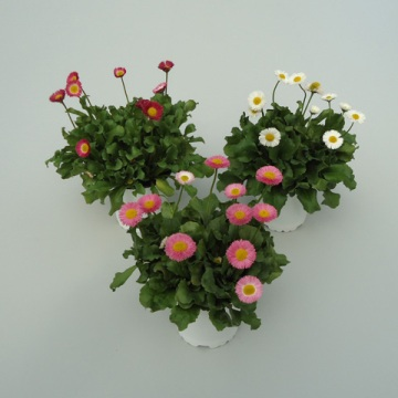 Planta De Exterior - Planta De Temporada - Bellis Maceta 11cm