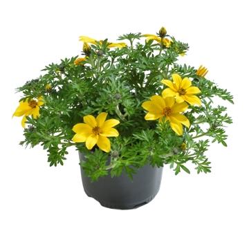 Planta De Exterior - Todas - Bidens Maceta 14cm