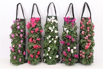 Planta De Exterior - Planta De Temporada - Bolsa Colgante Con Cyclamen 50cm