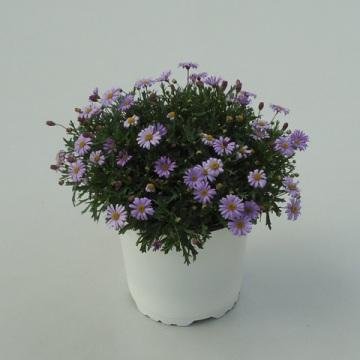 Planta De Exterior - Planta De Temporada - Brachycome Maceta 14cm
