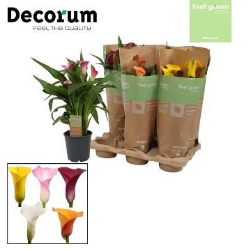 Planta De Exterior - Plantas De Sombra - Cala Colores Maceta 12cm Y Altura 30cm
