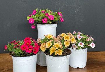 Planta De Exterior - Planta De Temporada - Calibrachoa Maceta Marron 14cm Colores Variados