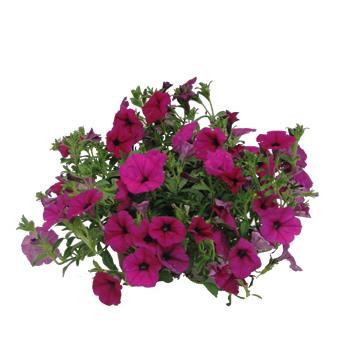 Planta De Exterior - Planta De Temporada - Calitunia Variada Maceta 13cm