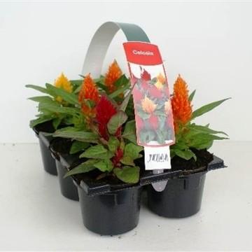 Planta De Exterior - Planta De Temporada - Celosia Argentea Pack De 6uds