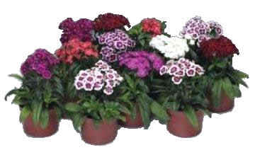 Planta De Exterior - Planta De Temporada - Clavel Barbatus Maceta 14cm