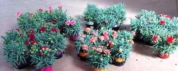 Planta De Exterior - Planta De Temporada - Clavel Carnelia Maceta 12cm