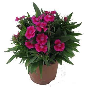 Planta De Exterior - Planta De Temporada - Clavel Telstar Maceta 15cm Colores Variados