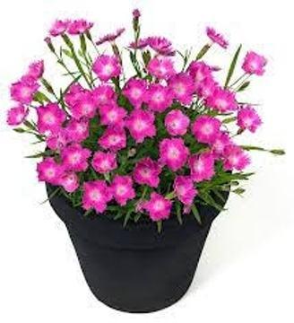 Planta De Exterior - Planta De Temporada - Clavel Kahori Maceta 13cm