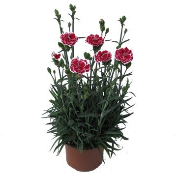 Planta De Exterior - Planta De Temporada - Clavel Mondrian Maceta14cm