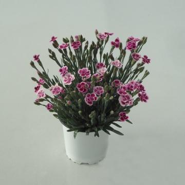 Planta De Exterior - Planta De Temporada - Clavel Pink Kiss Maceta 12cm