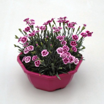 Planta De Exterior - Planta De Temporada - CLAVEL PINK KISS MACETA HEXAGONAL 23CM COLOR