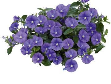 Planta De Exterior - Todas - Convolvulus Maceta 15cm