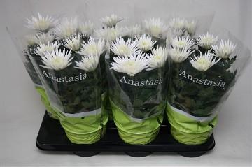 Planta De Exterior - Planta De Temporada - Crisantemo Anastasia M15cm