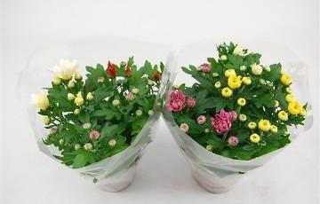 Planta De Exterior - Planta De Temporada - Crisantemo Carnaval M12