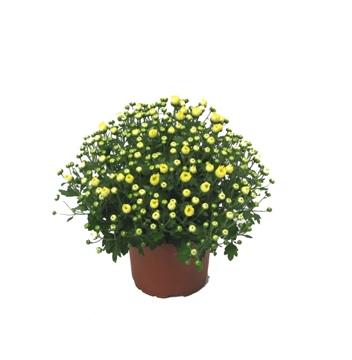 Planta De Exterior - Planta De Temporada - Crisantemo Maceta 12cm Colores Variados
