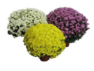 Planta De Exterior - Planta De Temporada - Crisantemo Maceta 19cm