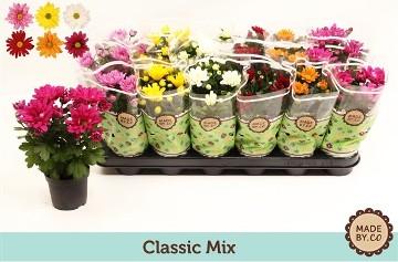 Planta De Exterior - Planta De Temporada - Crisantemo Varios Colores Maceta 9vmalto 15cm