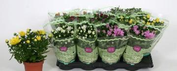 Planta De Exterior - Planta De Temporada - Crisantemo Maceta 12cm
