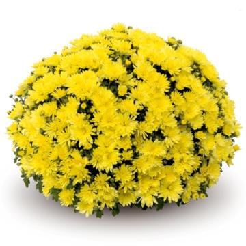 Planta De Exterior - Planta De Temporada - Crisantemo Grande Maceta 3l Colores Variados