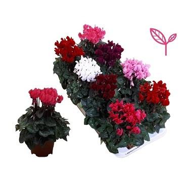 Planta De Exterior - Planta De Temporada - Cyclamen Maceta 14cm