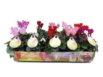 Planta De Interior - Planta Interior Flor - Cyclamen Mini Maceta11cm