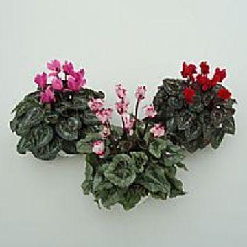 Planta De Exterior - Planta De Temporada - Cyclamen Maceta 12cm Mini