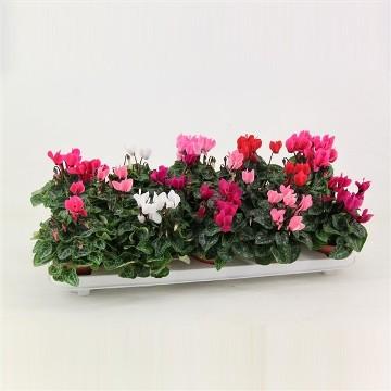 Planta De Exterior - Planta De Temporada - Cyclamen Mini Maceta 9cm