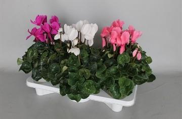 Planta De Interior - Planta Interior Flor - Cyclamen Extra Maceta 17cm