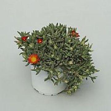 Planta De Exterior - Plantas Vivaces - Delosperma Maceta 12cm
