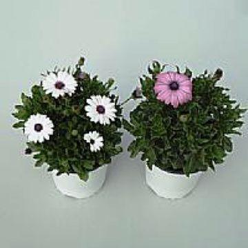 Planta De Exterior - Planta De Temporada - Dimorphoteca Maceta 15cm