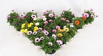 Planta De Exterior - Planta De Temporada - Dimorphoteca Maceta 14cm Variada