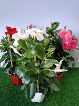 Planta De Exterior - Planta De Temporada - DIPLADENIA COLECCION C14 ESPALDERA 40CM