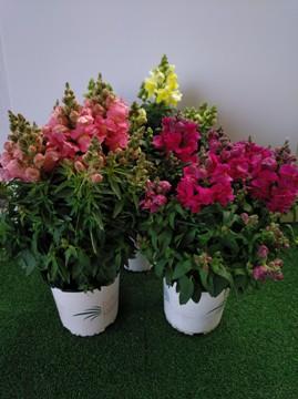 Planta De Exterior - Planta De Temporada - DRAGONARIA MACETA 15CM
