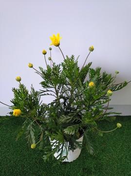Planta De Exterior - Planta De Temporada - Euriops Maceta15cm